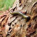 Yellow-banded millipede/Gongolí bandiamarillo