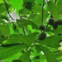 Native American Paw Paw