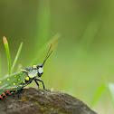 Coffee Locust