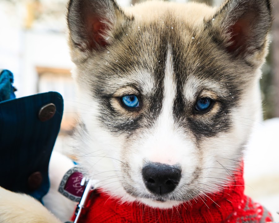 I know I'm Cute! by Roberta Janik - Animals - Dogs Puppies ( doggy, pup, sled dog pup, puppy, cute, hushy pup,  )