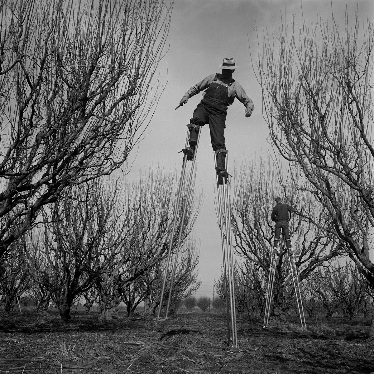 Farmer Wayne Deming Of Clovis, Calif. Making Stilts For His Orchard