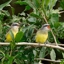 tirano tropical (Tropical Kingbird)