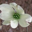 Early Dogwood Bloom