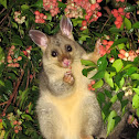 Common Brushtail Possum (juvenile)