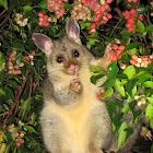 Common Brushtail Possum (juvenile)