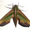 Green Hawk-Moth