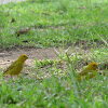 jilguero dorado - chirigüe azafranado - saffron finch