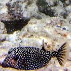 Spotted Boxfish (Female)/Moa