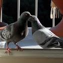City Doves