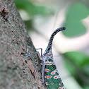 Black Lanternfly