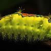 Limacodidae Moth Caterpillar