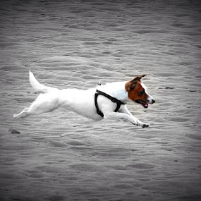 Mid-air by Cheryll Duckworth - Animals - Dogs Running ( #GARYFONGPETS, #SHOWUSYOURPETS )