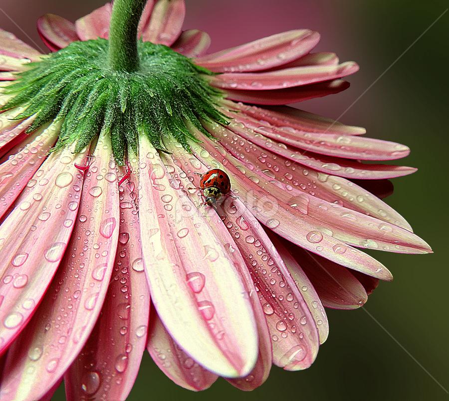 Unexpected guest by Biljana Nikolic - Flowers Single Flower ( water drops, macro photography, nice, beauty in nature, beauty, gerbera, macro, nature, fresh, pink, freshness, interesting, ladybug )