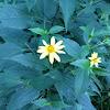 Thinleaf Sunflower