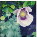 Pale lilac poppy