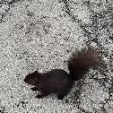 Black (melanistic) eastern gray squirrel