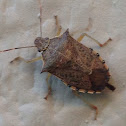 Spined soldier bug.