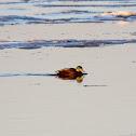 American Black Duck x Mallard hybrid