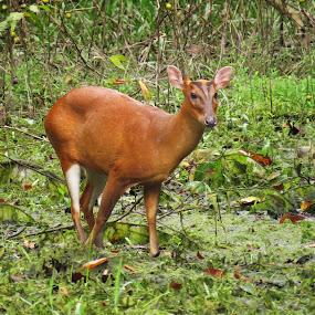 Barking Deer.... by Asim Mandal - Animals Other Mammals