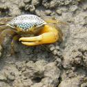 Costal Crab
