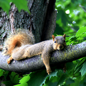 Comfy Position by Marsha Biller - Animals Other Mammals ( single, tree, branch, laying, squirrel,  )