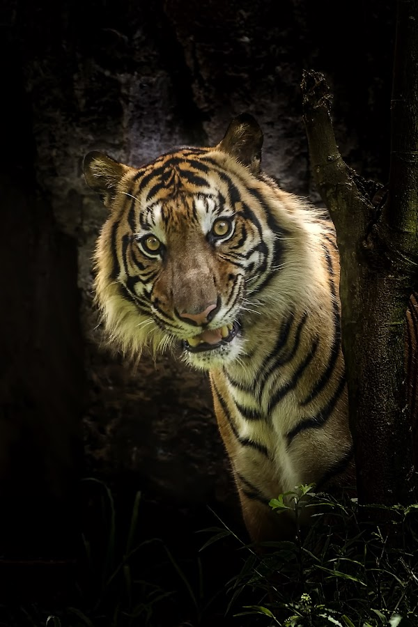 Evil face by Dikky Oesin - Animals Lions, Tigers & Big Cats ( scary, danger, tiger, strong, stripes )