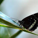 black crow butterfly