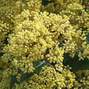 Oval Leafed Pomaderris