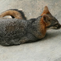 Zorra Gris (Gray Fox)