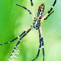 Garden Spider aka Banana Spider