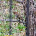 yellow-shafted northern flicker woodpecker