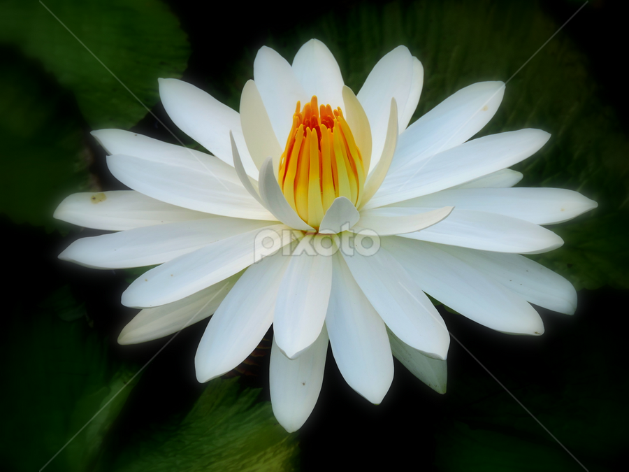 Nymphaea alba by Yusop Sulaiman - Flowers Single Flower (  )