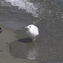 Juvenile Black-billed Gull
