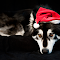 Wolamute Wolf Christmas Animal.jpg