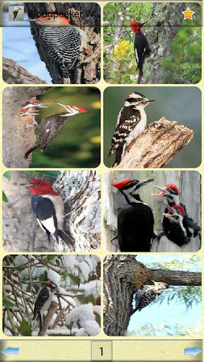【免費攝影App】啄木鳥壁紙-APP點子