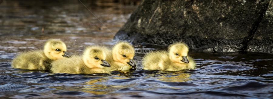 Goslings by Eugene Ball - Animals Birds ( water, goslings, geese, birds, chicks )
