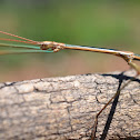 Arizona Walkingstick