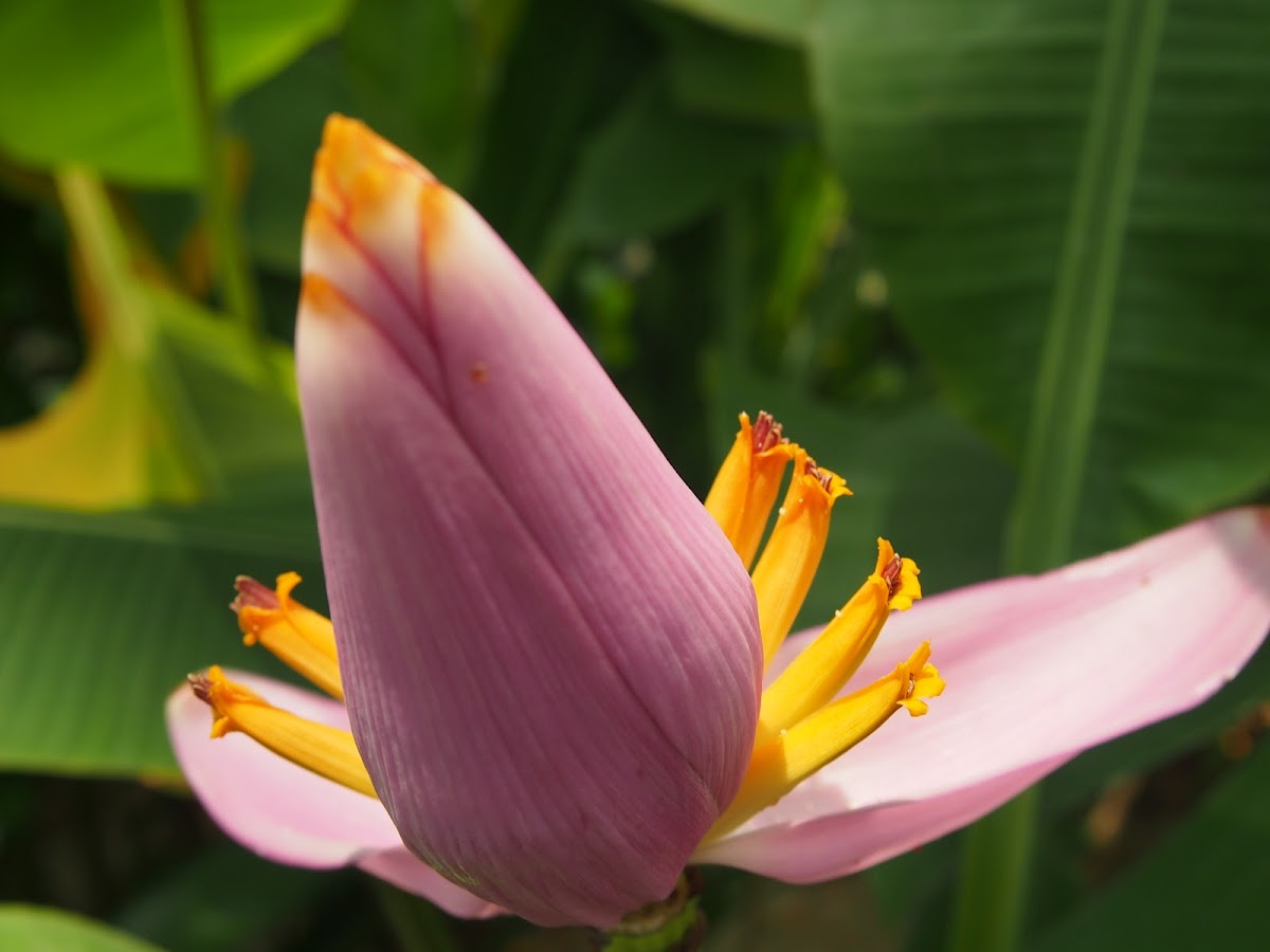 Flowering Banana or Ornamental Banana