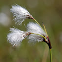 Common cotton grass