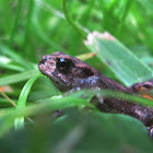 Common toad (juvenile)