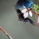 Black swallowtail, American swallowtail or parsnip swallowtail