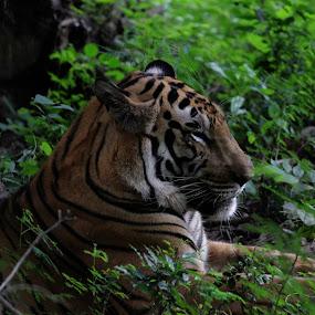 Tiger by Ashwini Dey - Animals Lions, Tigers & Big Cats ( tiger, ashwini dey, wildlife, photography, animal,  )