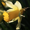 Daffodil Way
