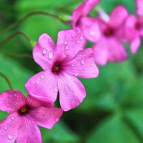 Morning Dew by Ciprian Nafornita - Flowers Flower Gardens ( macro )