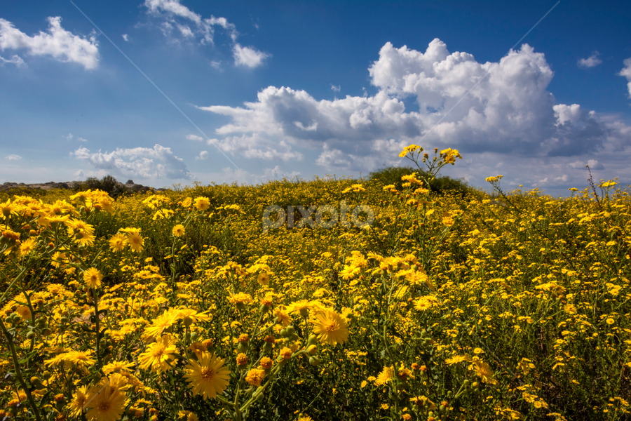 Chrysospsis and clouds by Robert Namer - Landscapes Prairies, Meadows & Fields ( nature et paysages, wildflowers, natural light, nature, field flower, meadow, nature close up, landscapes, flowers, fields )