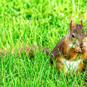 sqirrel in the green by Horst Winkler - Animals Other ( animals, grass, green, eichhörnchen, nice, nager, natur, nagetier, gras, squirrels, nature, eating, lovely, eat, rodent, eichkätzchen, squirrel, animal )
