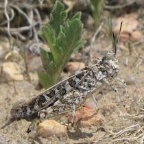 Grasshoppers of Colorado