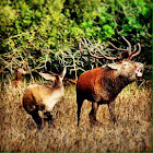 Irish Red Deer