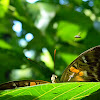 New Guinea clipper
