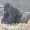 Gorilla (Silverback)